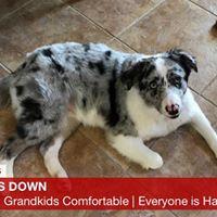 #BarkBusters #SpeakDogChangeYourLife #FortMyersK9 #DogsofBarkBusters #HomeDogTraining #AustralianShepherd