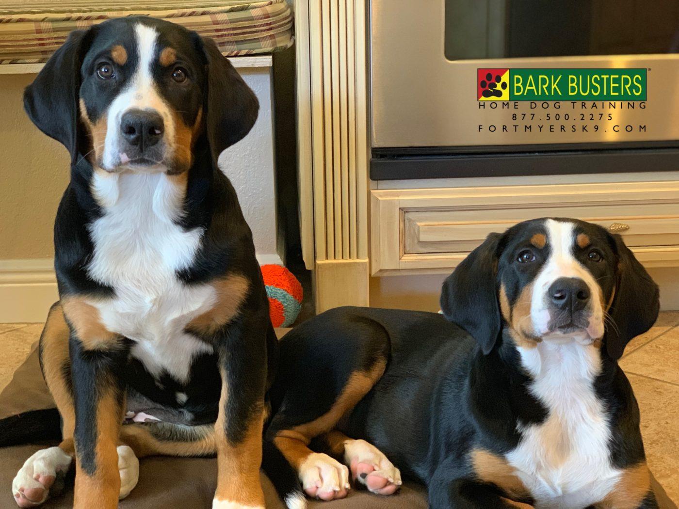 #greaterswissmountaindog #fortmyersk9 #speakdogbarkbusters #dogsofbarkbusters