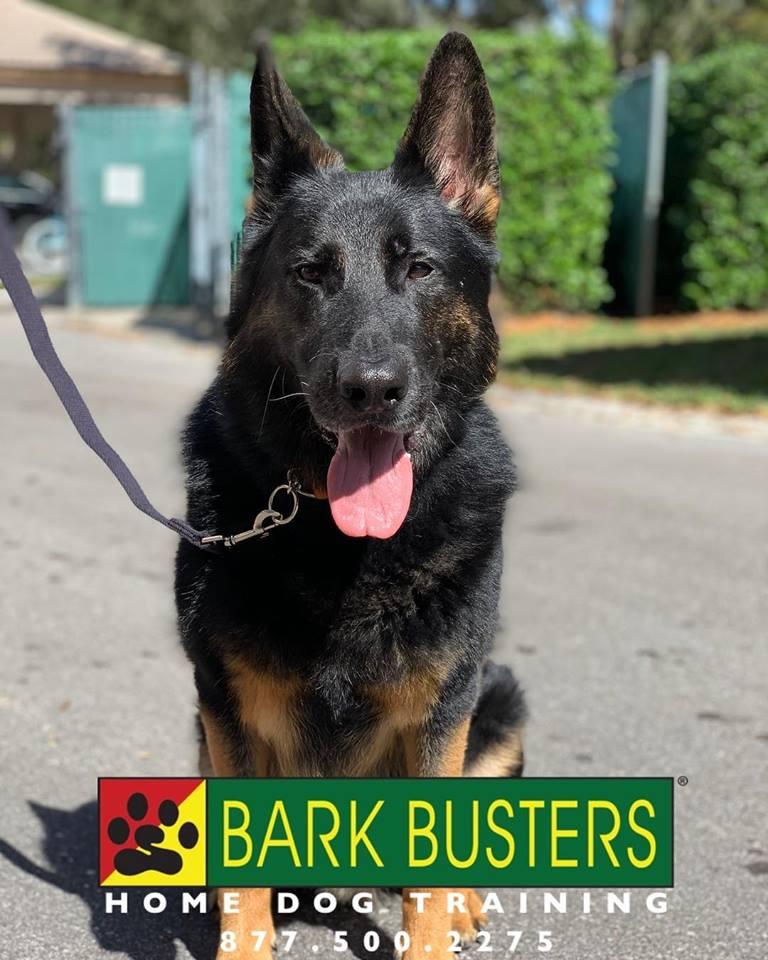 #germanshepherd #dogsofbarkbusters #fortmyersk9