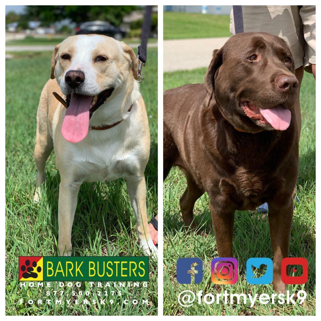 #dogsofbarkbusters #labradorretriever #speakdogchangeyourlife #labmix #speakdogbarkbusters #labtested #barkbustersusa #fortmyersk9