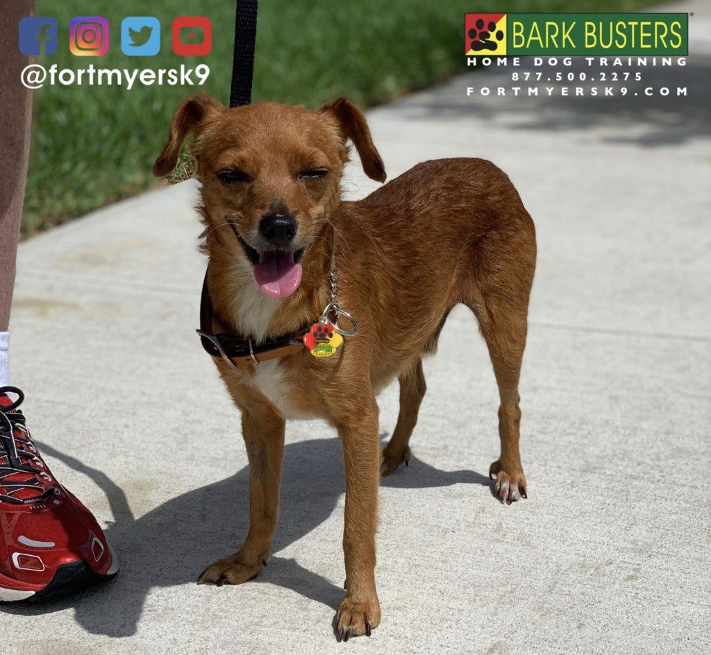 #dogsofbarkbusters #chiweenie #speakdogbarkbusters #speakdogchangeyourlife #chiweeniesofinstagram #barkbustersusa #fortmyersk9