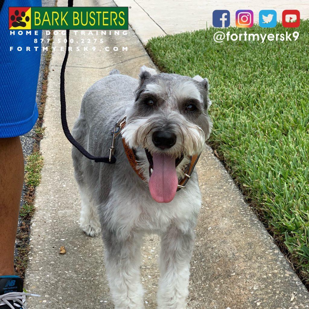 #speakdogchangeyourlife #miniatureschnauzer #dogsofbarkbusters #schnauzer #barkbustersusa #fortmyersk9