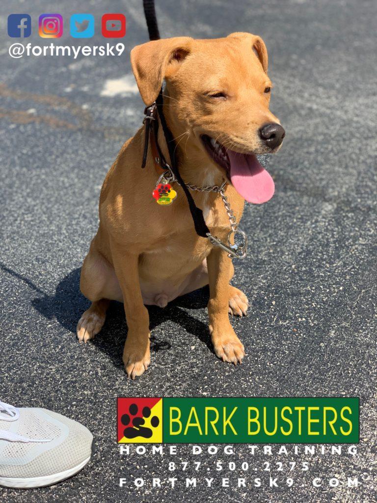 #chihuahuamix #speakdogchangeyourlife #dogsofbarkbusters #terriersofinstagram #heelermix #speakdogbarkbusters #barkbustersusa #fortmyersk9