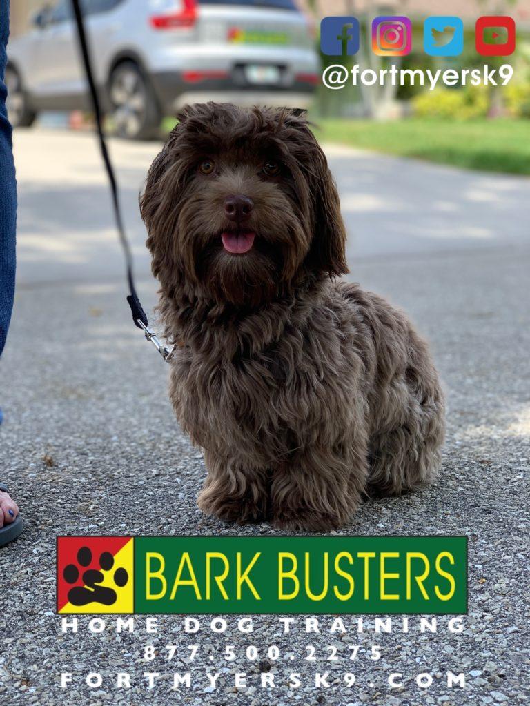 #dogsofbarkbusters #havanese #speakdogchangeyourlife #havaneseofinstagram #fortmyersk9 #barkbustersusa