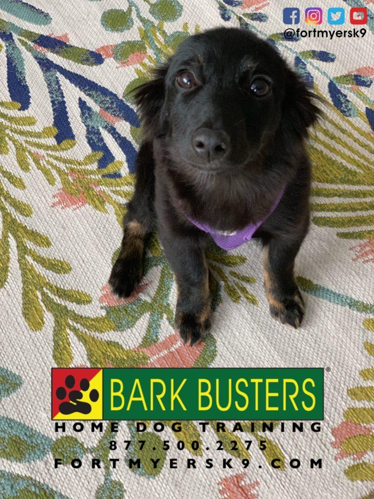 #miniaussie #dogsofbarkbusters #speakdogchangeyourlife