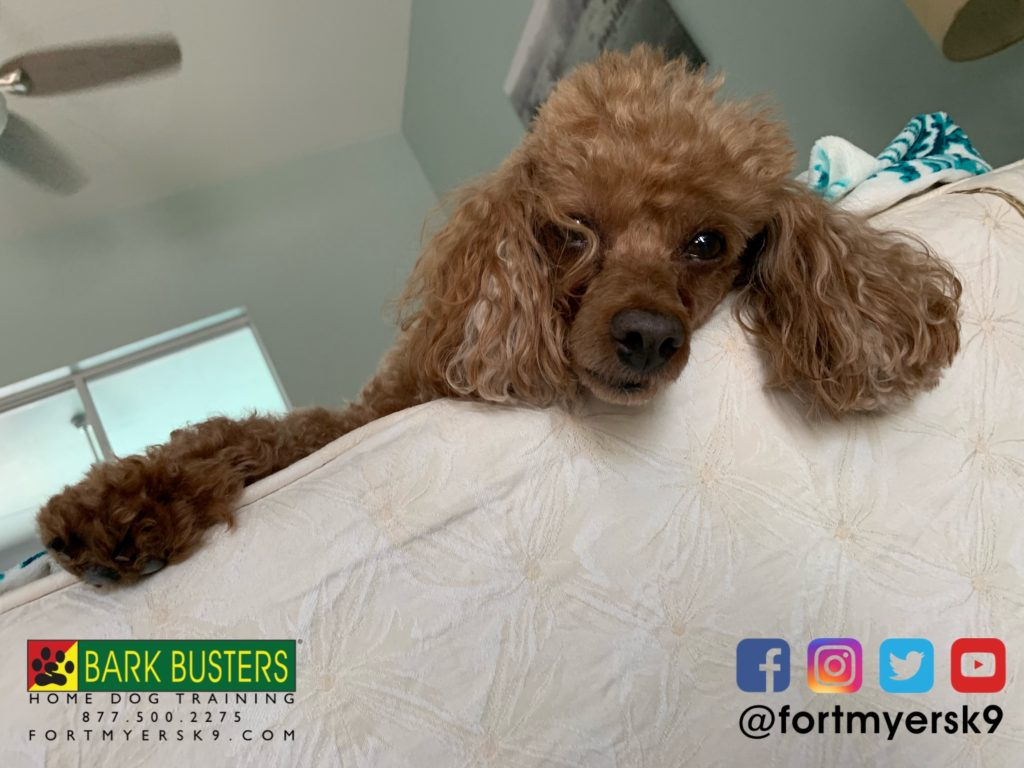 #speakdogbarkbusters #miniaturepoodle #speakdogchangeyourlife #miniaturepoodlesofinstagram #barkbustersusa #fortmyersk9 #dogsofbarkbusters