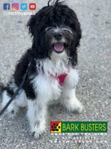 #minilabradoodle #dogsofbarkbusters #labradoodle #speakdogchangeyourlife #labradoodlesofinstagram #barkbustersusa #fortmyersk9