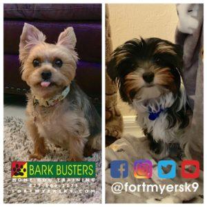 #morkie #biewerterrier #biewer #speakdogchangeyourlife #dogsofbarkbusters #fortmyersk9