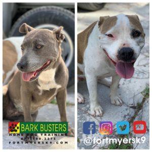 #pitbull #pibble #dogsofbarkbusters #fortmyersk9
