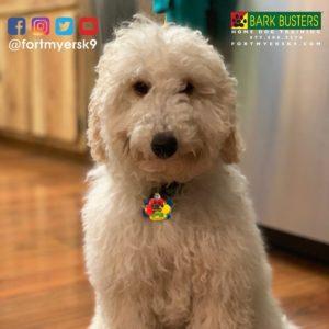 #miniaturepoodle #minigroodle #speakdogchangeyourlife #dogsofbarkbusters #fortmyersk9 #noprong #barkbustersusa