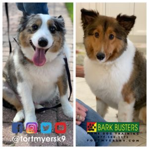 #miniaustralianshepherd #miniatureaustralianshepherd #sheltie #shetlandsheepdog #speakdogchangeyourlife #barkbustersusa #fortmyersk9