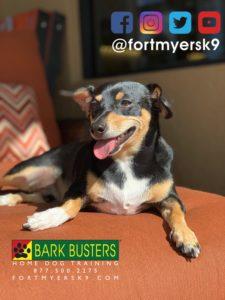 #jrtmix. #dogsofbarkbusters. #jackrussellmix. #chihuahuamix. #fortmyersk9. #speakdogchangeyourlife
