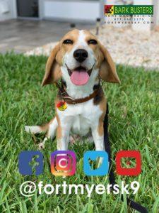 #beagle #speakdogchangeyourlife #barkbustersusa #dogsofbarkbusters #fortmyersk9