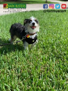 #terrier #dogsofbarkbusters #terriermix #speakdogchangeyourlife #barkbustersusa #fortmyersk9