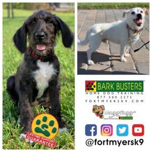 #greatgroodle #joserussellterrier. #dogsofbarkbusters #speakdogchangeyourlife #puppytraining #noprong #barkbustersusa #fortmyersk9
