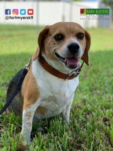 #beagle. #barking. #barkbusters. #dogsofbarkbusters