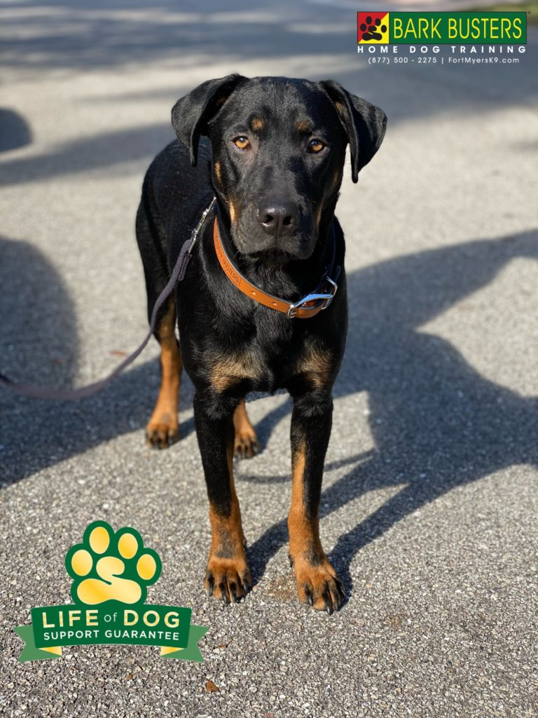 Mahoney #timmahoney #policeacademy is newly adopted from the #leecountycelldogs program but was timid, fearful and a little skittish. Enter @barkbustersusa @fortmyersk9 . We showed his new parents to #speakdogchangeyourlife and 🤯 that's just what we did. Now he walks on a loose leash, comes when called even to his dad! fortmyersk9.com