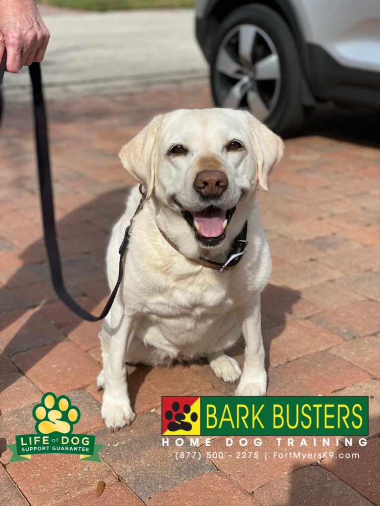 10-year-old #labradorretriever is new to #fortmyers #crowncolony and the move triggered some #separationanxiety . Meds were t getting it done, but we saw great progress today. We even got her calm behind a door with no reaction. #speakdogchangeyourlife #fortmyersk9 @fortmyersk9 no