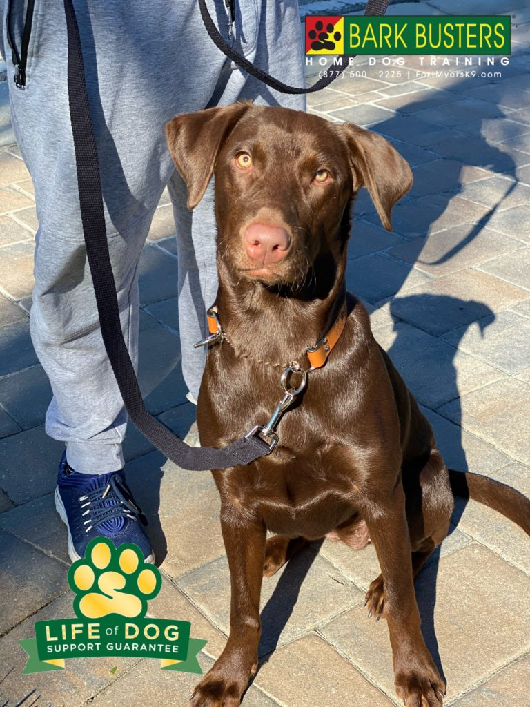#chocolatelab #labradorretriever had a great lesson learning to be calm and chill, inside and outside. #renaissance #renaissancefortmyers #fortmyers #fortmyersk9 @fortmyersk9
