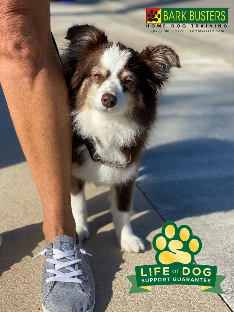 Cali is an 8-year-old #miniaussie who needed to learn to be more calm when golfers would pass by, when on walks bicycles would go by and really just be calm in general. She did great 👍🏻. #heronsglen #fortmyers #fortmyersk9 #speakdogchangeyourlife @fortmyersk9 fortmyersk9.com