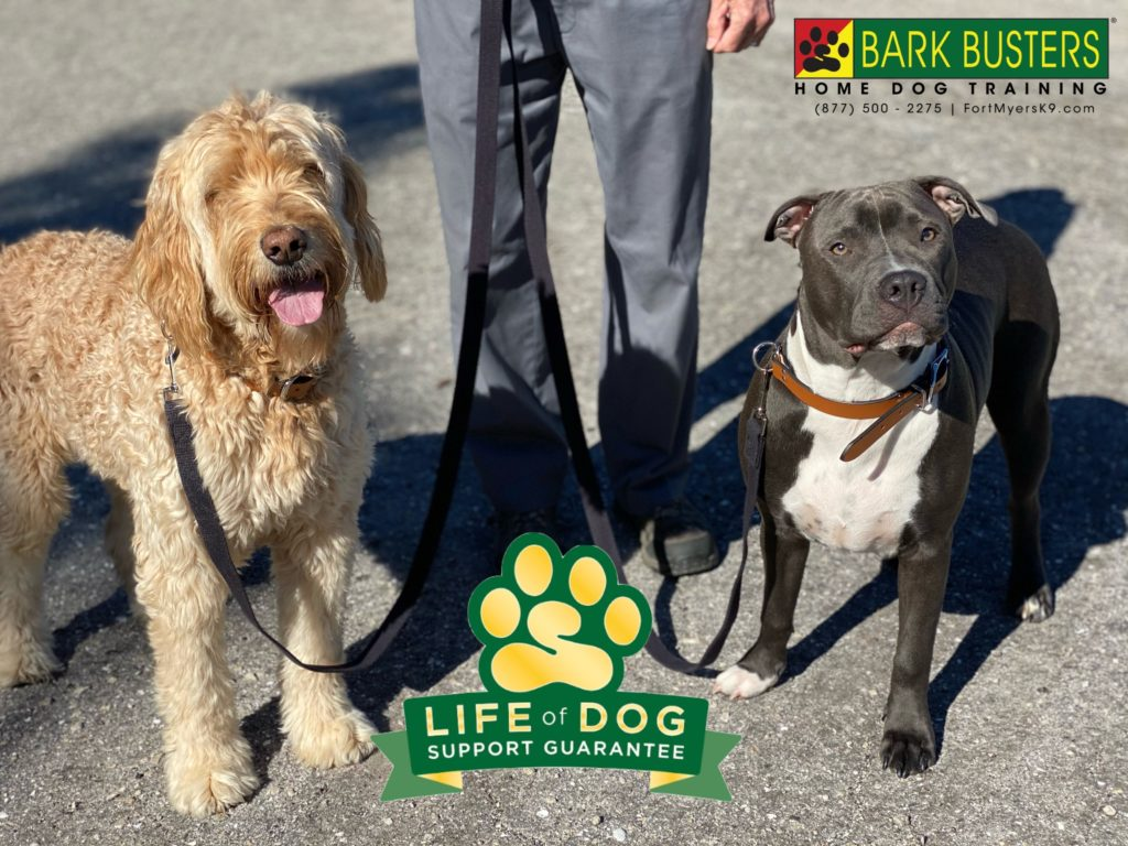 11-Year-old Sadie the #groodle and 9-month-old Xena #pibble #warriorprincess needed some help calming down when people came to visit and on walks. ✅. #speakdogchangeyourlife #bokeelia #fortmyersk9 @fortmyersk9