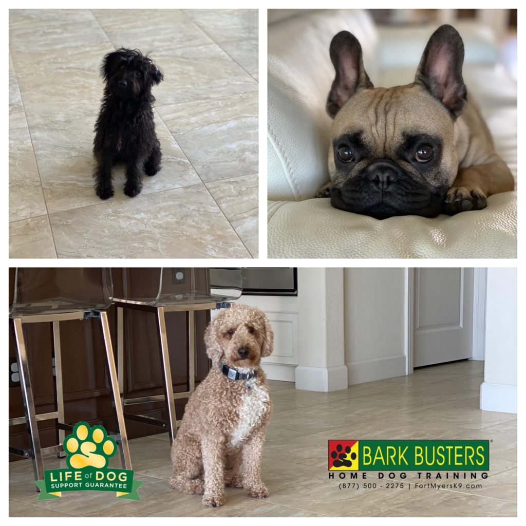 Scooby #yorkiepoo Frank #frenchbulldog and Ted #minigroodle all had a great lesson today learning to be more calm inside and outside! #capecoral #fortmyersk9 #speakdogchangeyourlife @fortmyersk9 fortmyersk9.com