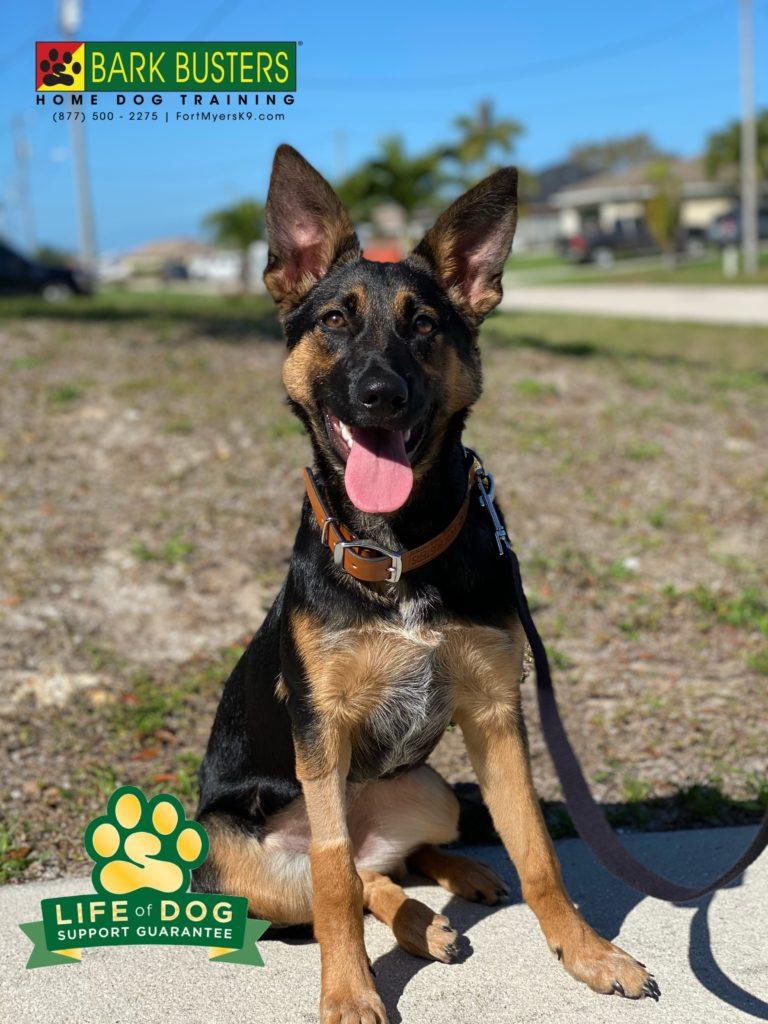 Molly the #gsdmix #cattledogmix is just a pup and really needed to calm down and not jump, mouth and nip so much. Done ✅. #speakdogchangeyourlife #capecoral #fortmyersk9 @fortmyersk9 fortmyersk9.com