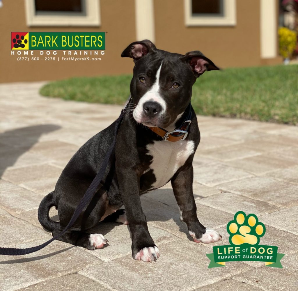 Bailey the #pibble is off to a great start! Walking like a champ in minutes! #speakdogchangeyourlife #royaltee #capecoral #fortmyersk9 @fortmyersk9 fortmyersk9.com