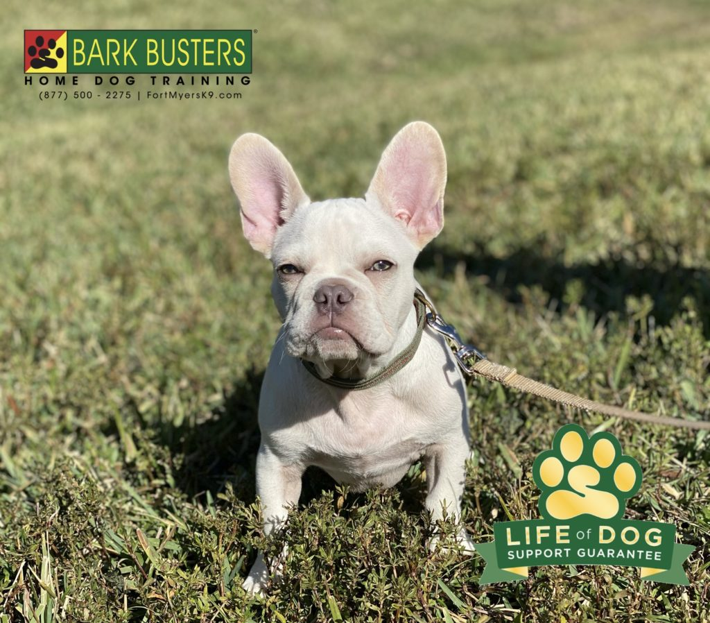 Rex the 3-month-old #frenchbulldog had a great lesson today. No more jumping on his mom, nipping his human brother and being chill with his dad. #speakdogchangeyourlife #3oaks #threeoaks #fortmyers #fortmyersk9 @fortmyersk9 fortmyersk9.com