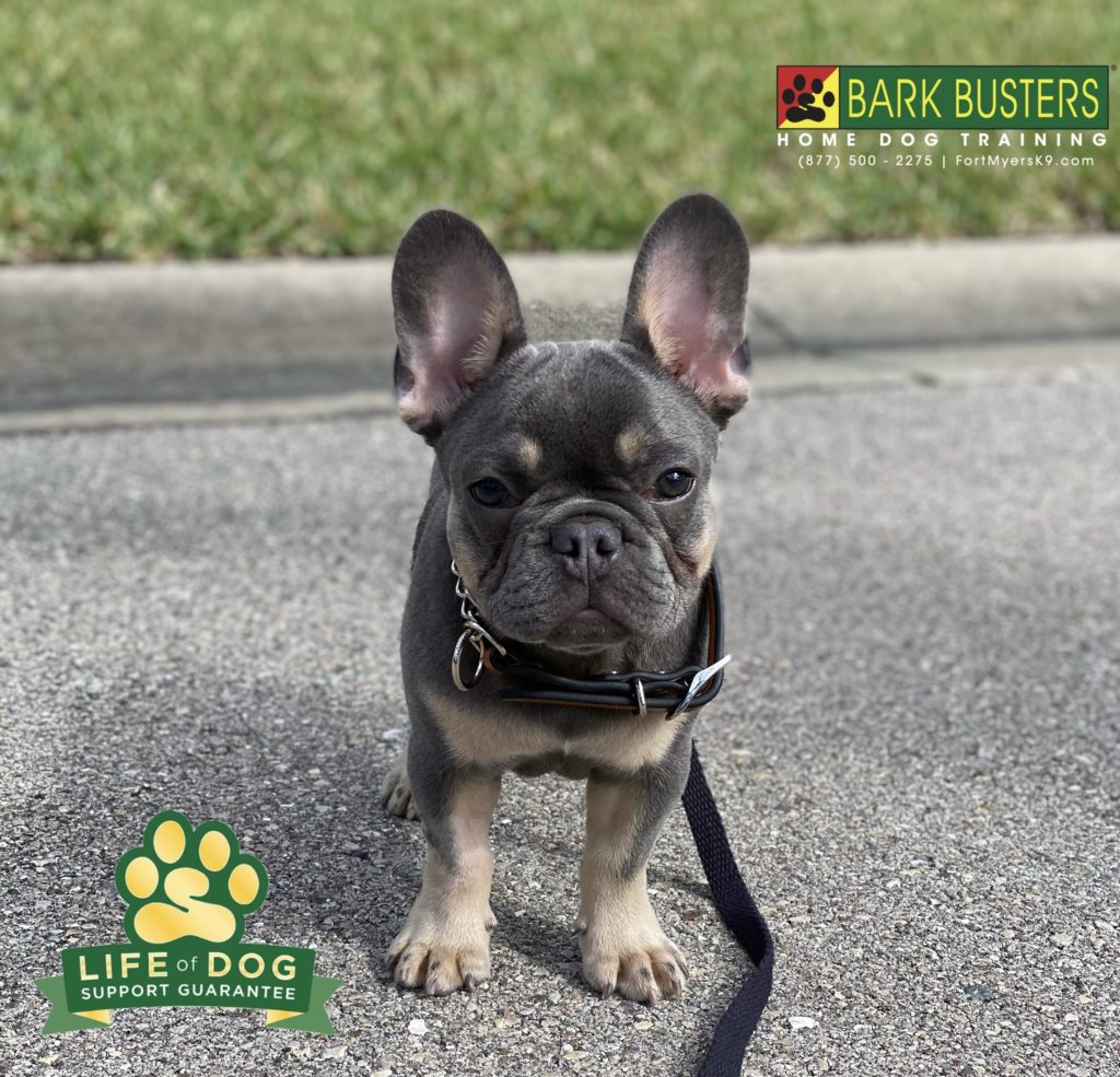 Odie, a 4-month-old #frenchbulldog , had his first lesson today. As you can see, being adorable is serious business. #speakdogchangeyourlife #fortmyersk9 @fortmyersk9