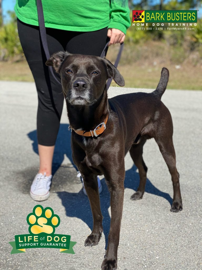 Shadow a #labmix had a great lesson today being more relaxed when people would come over. He also needed to learn to toilet on leash and not just go when let in the yard. Well, because he was far less distracted he did #1 ! #speakdogchangeyourlife #lehighacres #fortmyersk9 @fortmyersk9 fortmyersk9.com