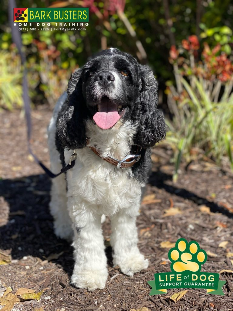 Murphy #cockerspaniel had a barking issue on and off leash. We sorted that out in 2 hours. #speakdogchangeyourlife #sanibelisland #fortmyersk9 @fortmyersk9 fortmyersk9.com
