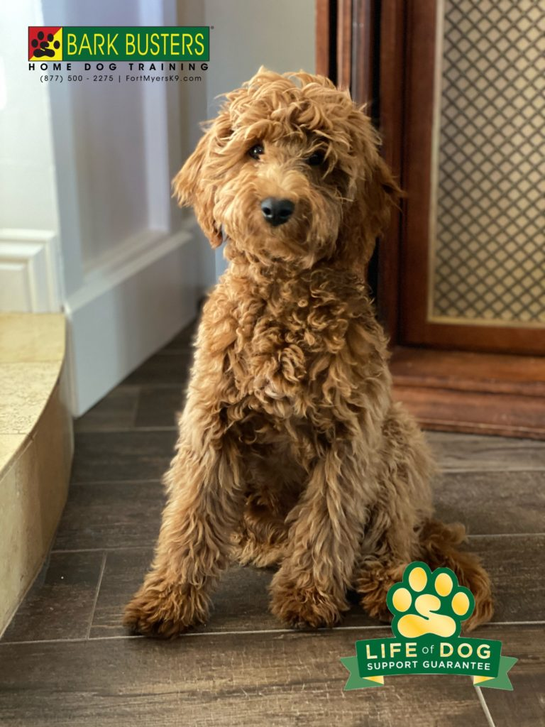 Teddy the #groodle had his first lesson today with #barkbusters #fortmyersk9 and he did great! No more jumping, nipping or pulling on the leash! #speakdogchangeyourlife @fortmyersk9