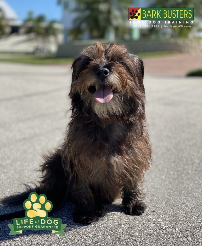 Lenny the #terrier had a lot of barking issues especially at other dogs. Well, within 2-hours two dogs walked by and not a peep! #speakdogchangeyourlife #saintjamescity #fortmyersk9 @fortmyersk9 fortmyersk9.com