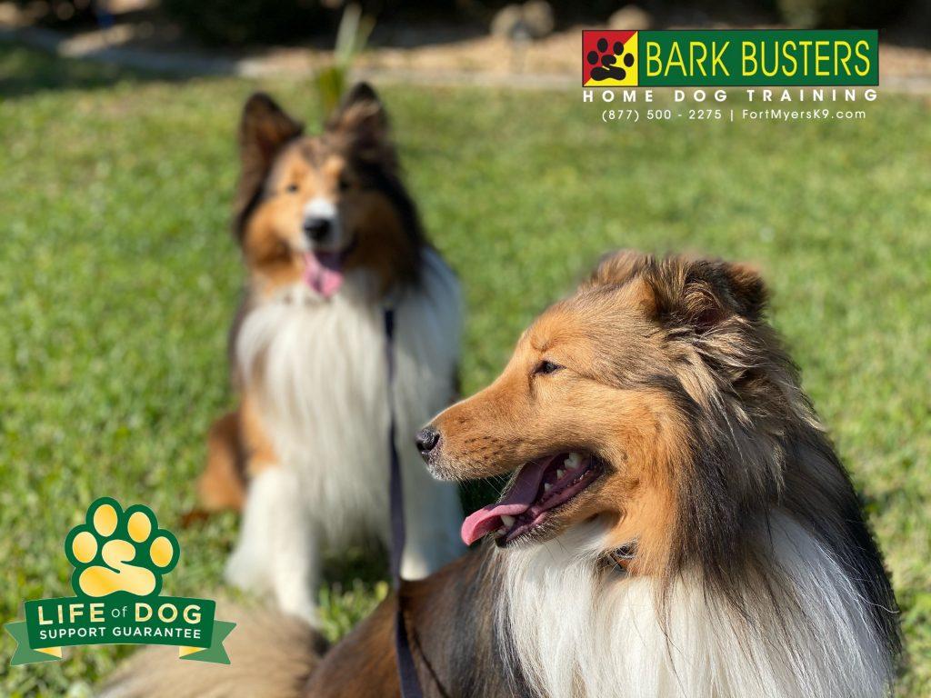 Dakota and Denver #sheltie #shetlandsheepdog did great today. No more excessive barking and they even started walking on a loose leash. #speakdogchangeyourlife #capecoral #fortmyersk9 @fortmyersk9 fortmyersk9.com