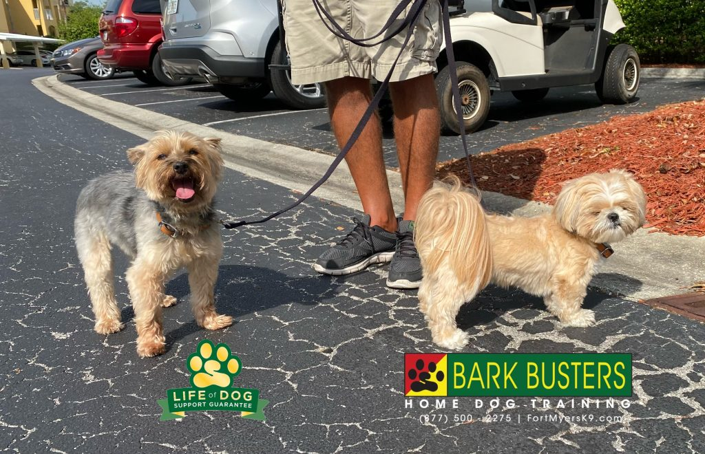 Molly #yorkshireterrier #yorkie and Riley #shihtzu had a great lesson today. They immediately stopped barking when the doorbell rang and showed great improvement when on a walk. #pelicanpreserve #fortmyers #fortmyersk9 #speakdogchangeyourlife @fortmyersk9 fortmyersk9.com
