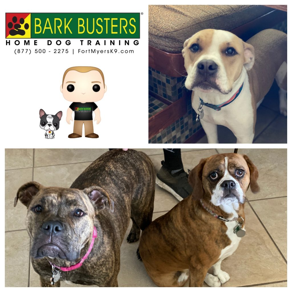 Chip #pibble Stella #pibble and Maggie #pugglebulldog had a bit of everything going on. #siblingrivalry #resourceguarding #aggression #barking but one, 2-hour lesson sorted it all out. #speakdogchangeyourlife #capecoral #fortmyersk9 @fortmyersk9 fortmyersk9.com