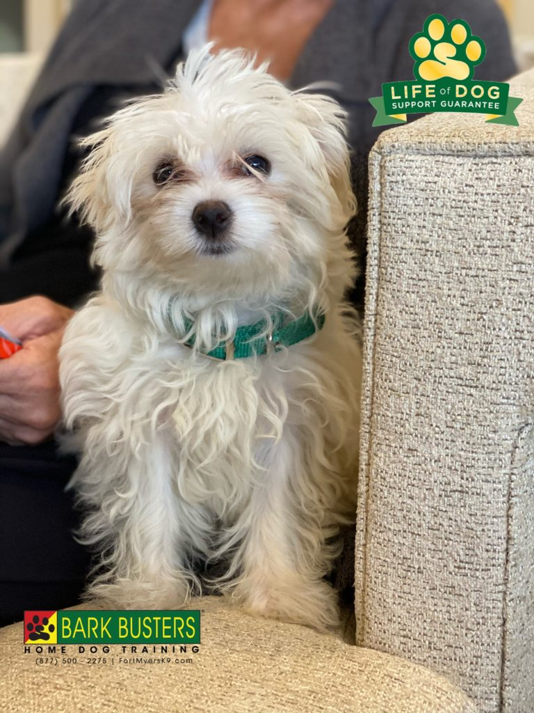 Lulu a 4-month-old #maltese is off to a great start. Learning to be calm and not nipping her mom. #fiddlesticks #fortmyers #fortmyersk9 #speakdogchangeyourlife @fortmyersk9 fortmyersk9.com