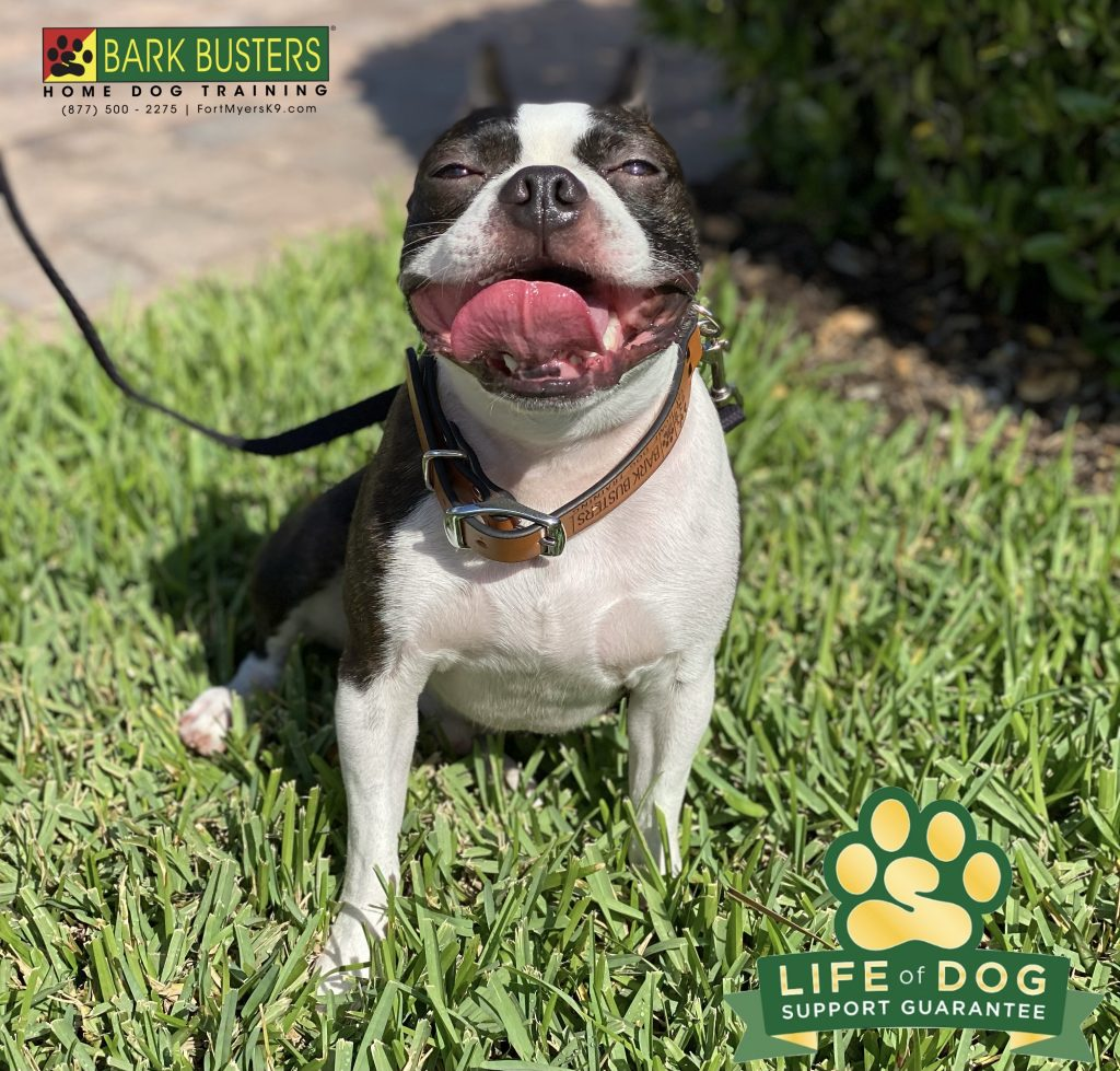 Levi #bostonterrier retired from guard duty today. We worked on being calm when the doorbell rings and walking on a loose leash. #speakdogchangeyourlife #capecoral #fortmyersk9 @fortmyersk9 fortmyersk9.com