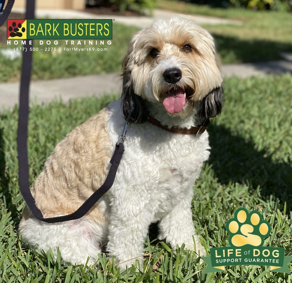 Stella the #springerdoodle needed some help with #barking #jumping #pullingonleash and exuberance with people. Well, not anymore. #speakdogchangeyourlife #heritagepalmscountryclub #fortmyersk9 @fortmyersk9 fortmyersk9.com