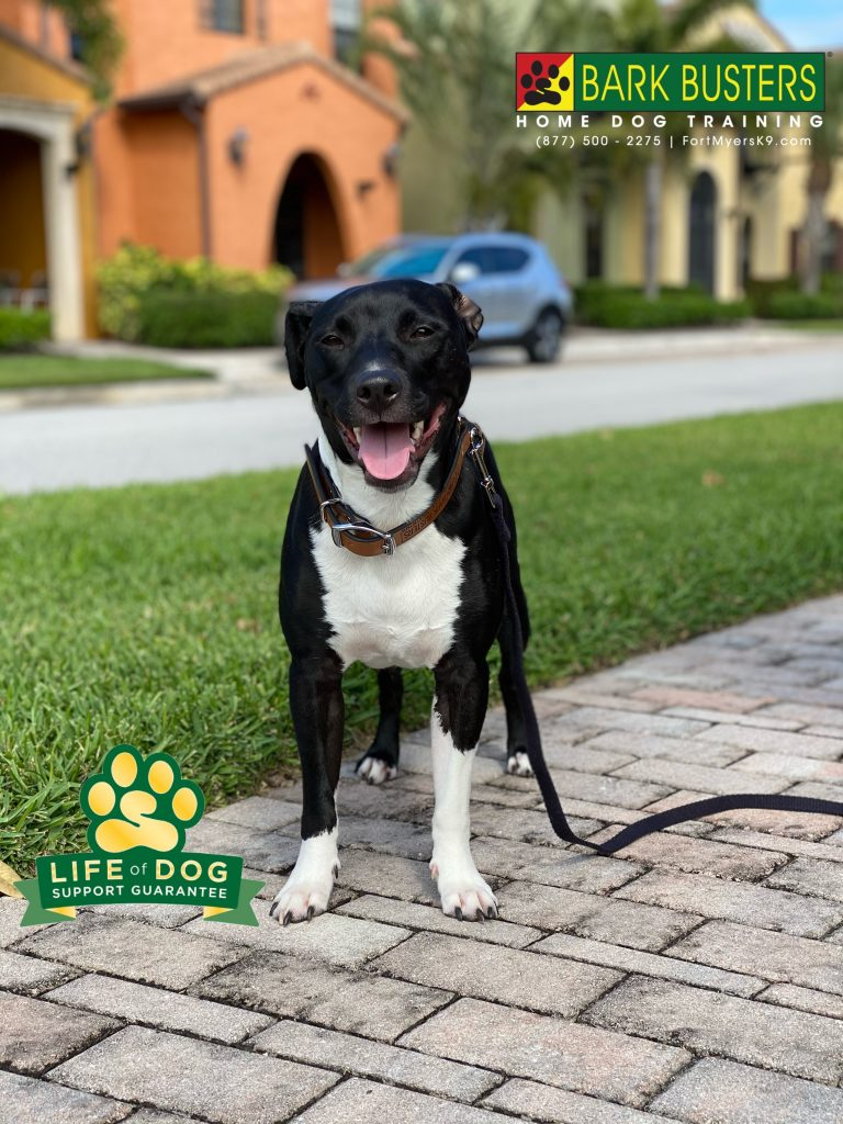 Malcolm the #labmix was a total and complete rock star today. #speakdogchangeyourlife #paseo #paseofortmyers #fortmyers #fortmyersk9 @fortmyersk9 fortmyersk9.com