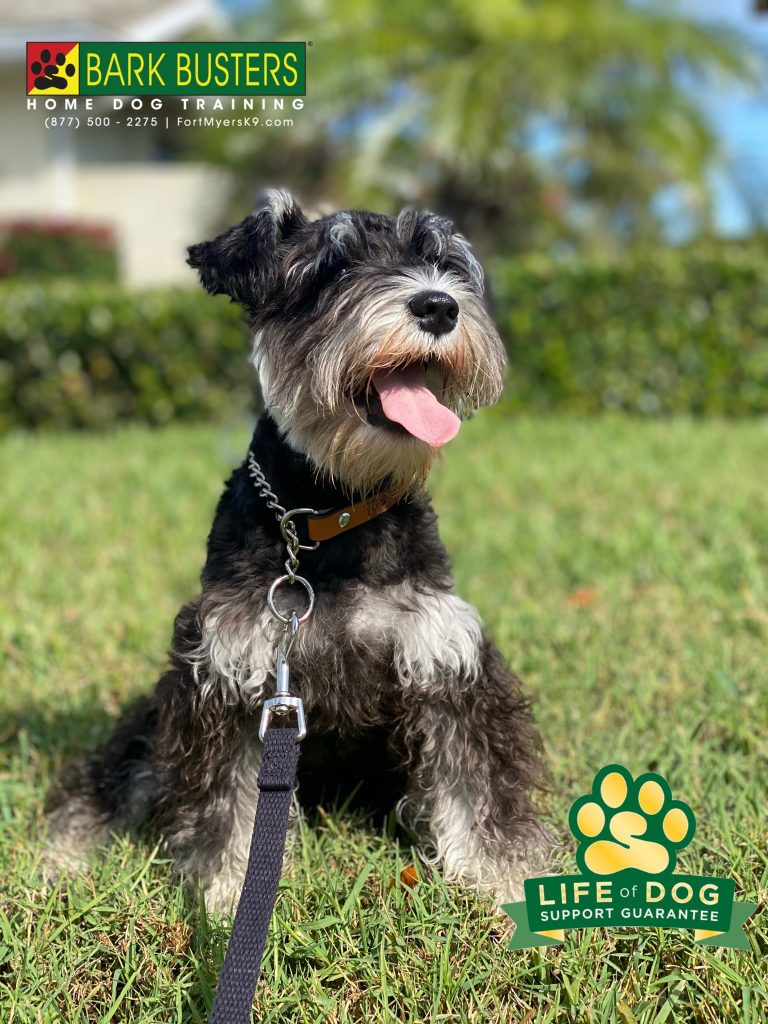 Clara Bel #miniatureschnauzer puppy is enjoying early retirement from barking, jumping, nipping, mouthing and pulling on the leash. #shellpoint #fortmyersk9 #fortmyers @fortmyersk9 fortmyersk9.com