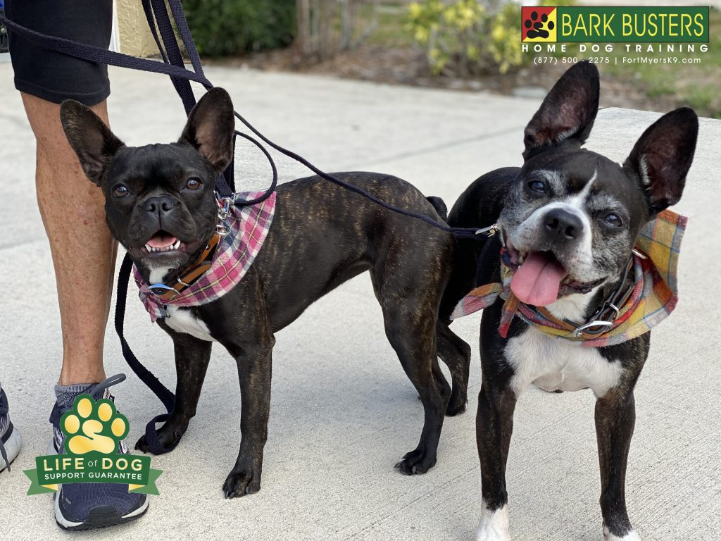 Murphy and Greta #frenchton dogs had a great lesson learning to be calm when visitors call, walking on a loose leash even with other dogs around. #speakdogchangeyourlife #parkerlakes #fortmyers#fortmyersk9 @fortmyersk9 fortmyersk9.com