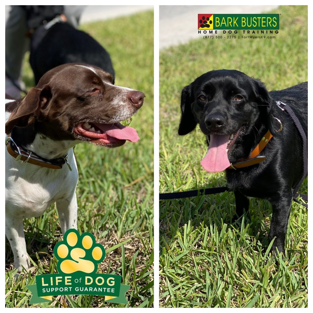 Chy and Coy are #cockapin brothers with a touch of aggression issues to go along with a lot of barking, jumping and pulling on the leash. #speakdogchangeyourlife #eaglesreserve #pultehomes #fortmyers #fortmyersk9 @fortmyersk9 fortmyersk9.com