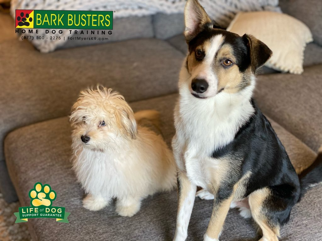 Theodore #pompoo and Red #aussiemix are learning to not bark at everything and walk on a loose leash. #speakdogchangeyourlife #fortmyersk9 @fortmyersk9 fortmyersk9.com