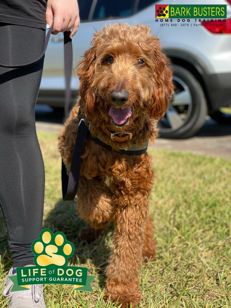 Molly a 1-year-old #irishdoodle had a great lesson learning to be calm and walk on a loose leash. #lehighacres #fortmyers #fortmyersk9 #speakdogchangeyourlife @fortmyersk9 fortmyersk9.com