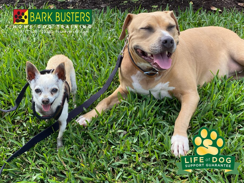Chico #chihuahua and Ruby #labmix had a great lesson learning to not bark when the doorbell sounded. #miramarlakes #fortmyersk9 #speakdogchangeyourlife @fortmyersk9 fortmyersk9.com