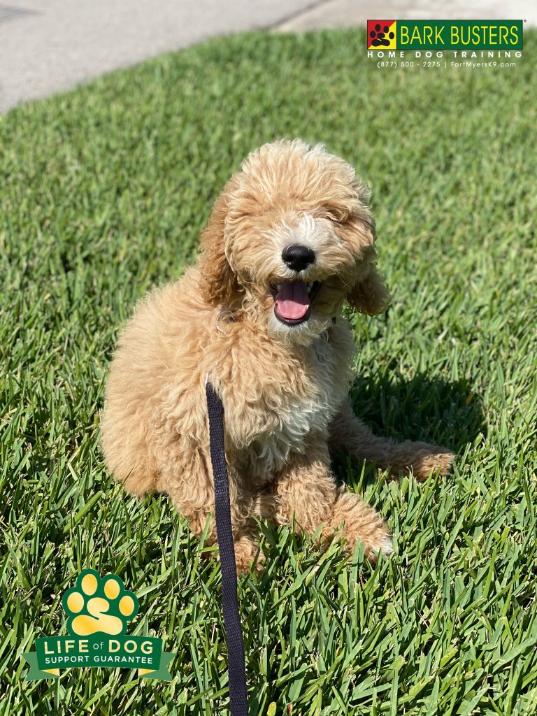 Teddy a 4-month-old #cockapoo is off to a great start and his parents are thrilled the jumping and nipping are a thing of the past! #speakdogchangeyourlife #capecoral #fortmyersk9 @fortmyersk9 fortmyersk9.com