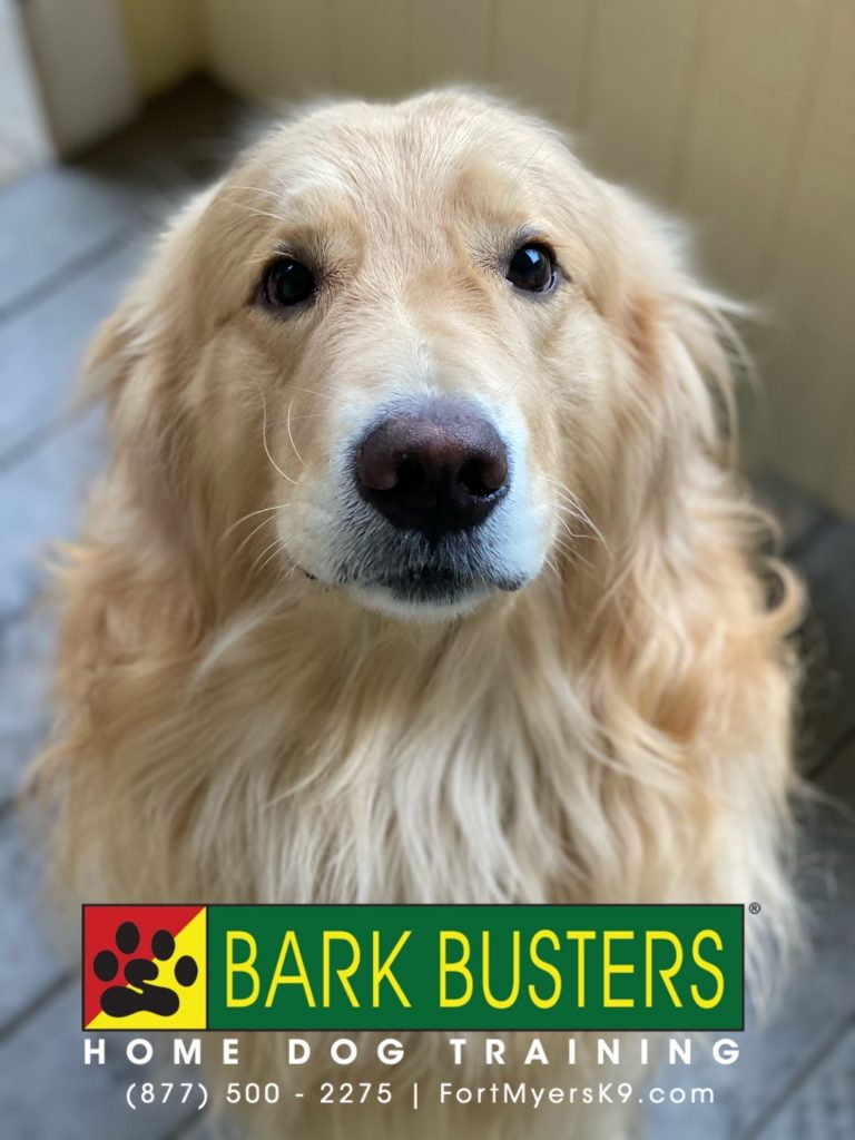 Chances R #goldenretriever had a great lesson today learning boundaries, not eating the trainer's hat, and walking on a loose leash. #speakdogchangeyourlife #bokeelia #fortmyersk9 @fortmyersk9 fortmyersk9.com