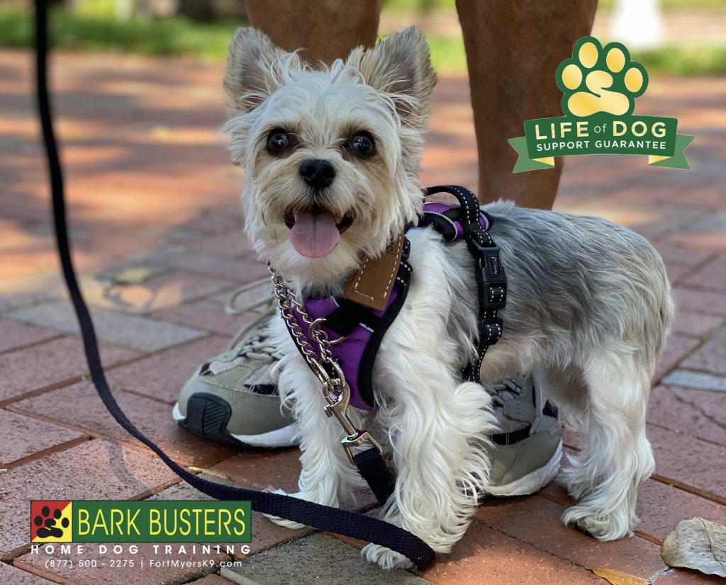 Peanut the #yorkie #yorkshireterrier had a great lesson today. Learning to walk properly and be respectful when company comes to visit. #thelandings #fortmyers #speakdogchangeyourlife #fortmyersk9 @fortmyersk9 fortmyersk9.com